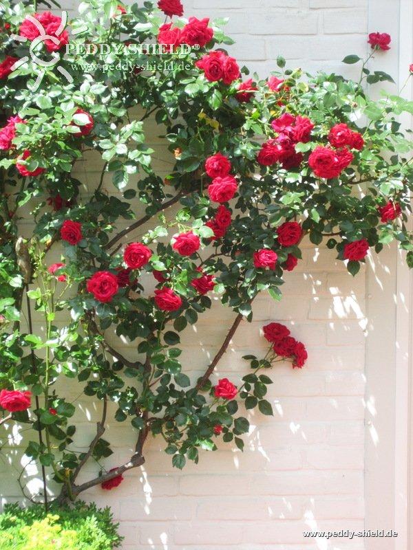 rosen rankhilfe rosen rankhilfe edelstahl rankgitter lea aus mm rundstahl with rosen rankhilfe. Black Bedroom Furniture Sets. Home Design Ideas